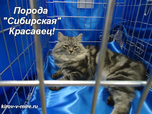 Порода Сибирская