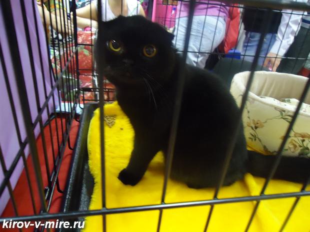 Выставка кошек в Кирове