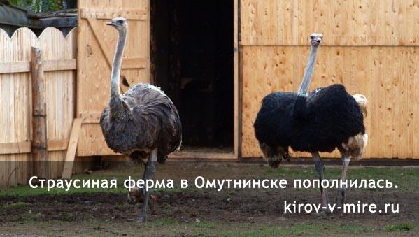 Страусиная ферма в Омутнинске