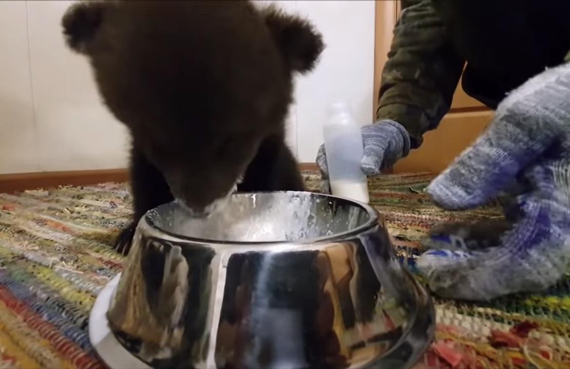 Кировских медвежат передали в медвежий центр в Твери