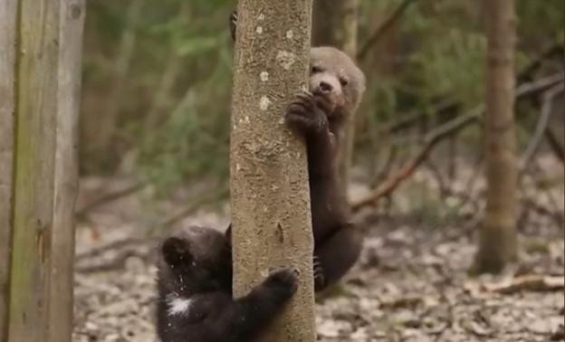 Спасенные опаринские медвежата привыкают к взрослой жизни