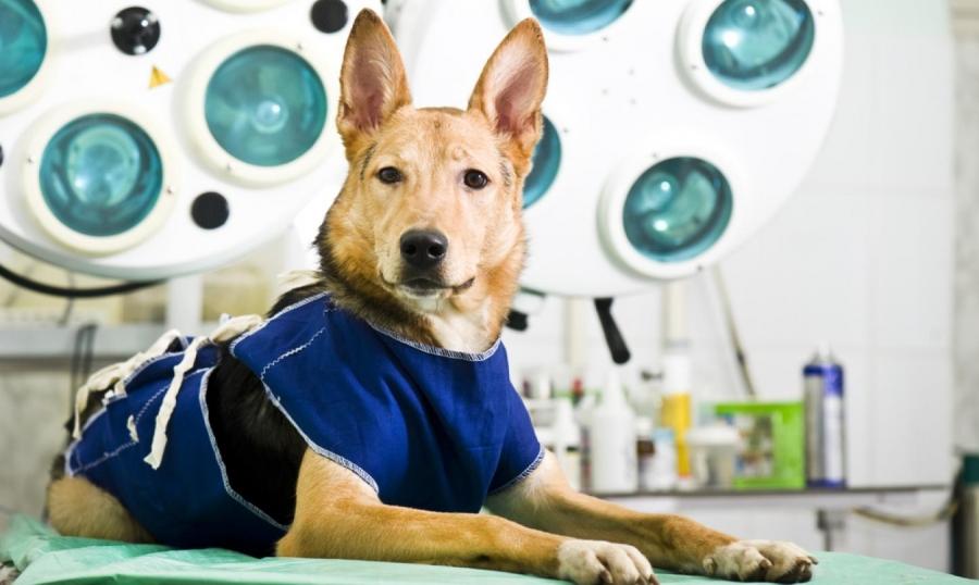 Кировские зоозащитники организовали акцию по стерилизации домашних собак