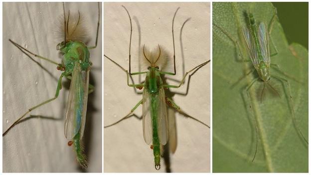 В Кирове появились зеленые комары