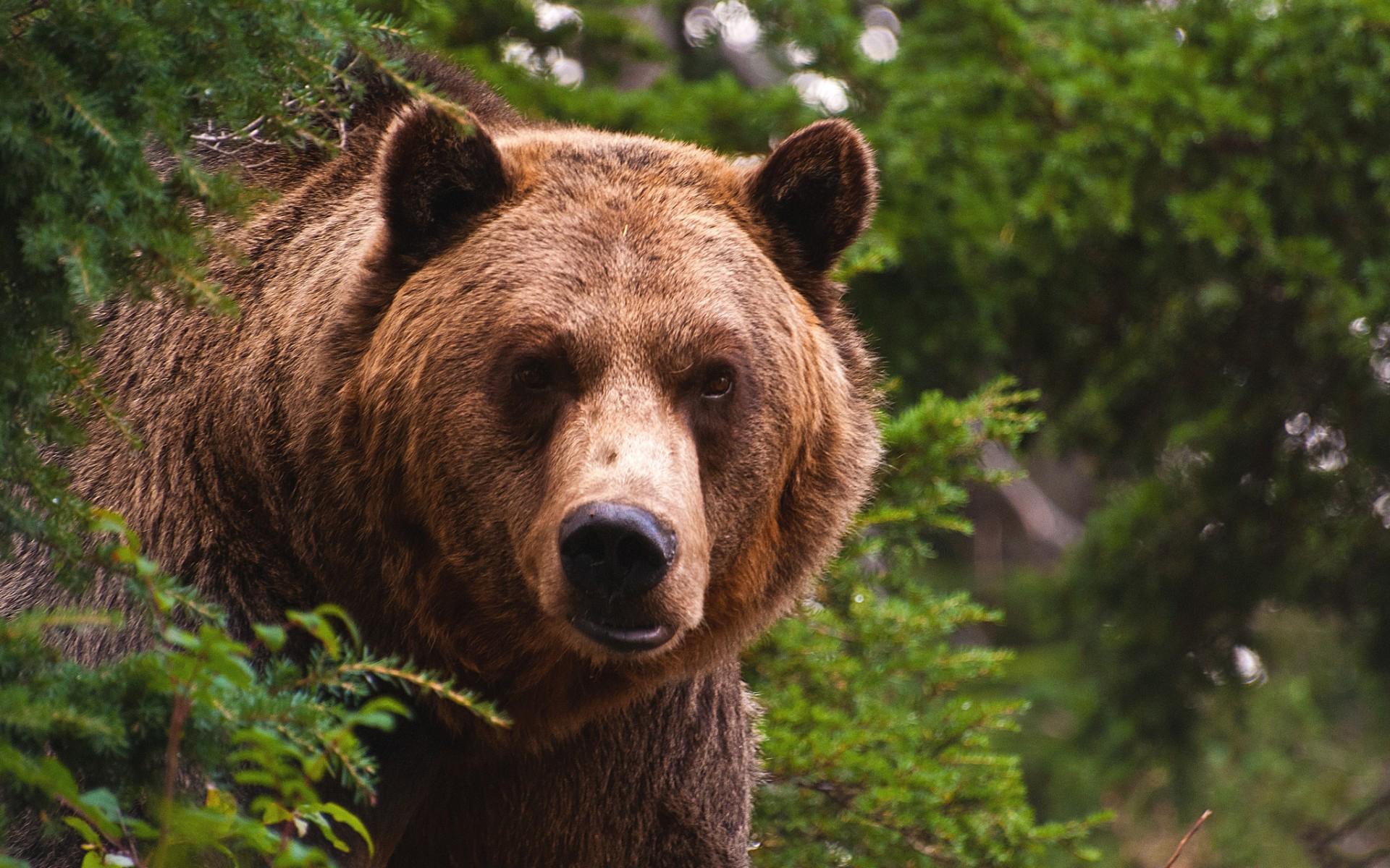 Медведь не виноват: специалисты рассказали, почему вятскополянский мишка напал на мужчину